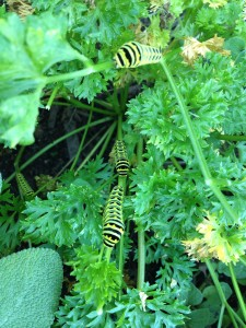 Cover photo for Black Swallowtail Larvae