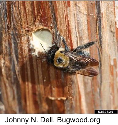 Carpenter Bees And Their Control North Carolina
