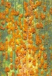 Rust pustules on wheat leaf. (Photo by Bill Willis, Kansas State University, Manhattan.)
