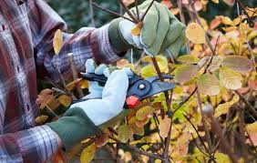 Gloved hands pruning a bush with pruning shears.