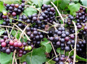 muscadine grape vines