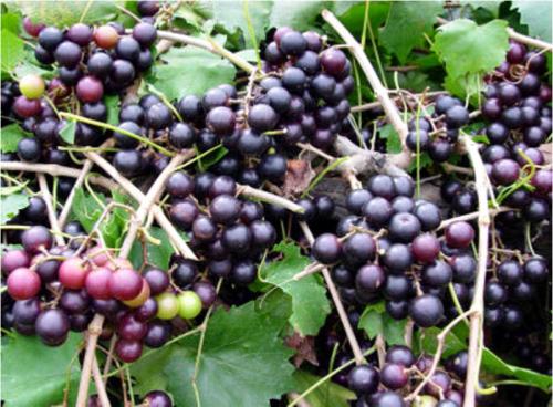 muscadine grape vines