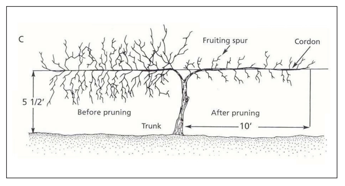 A drawn example of how to prune