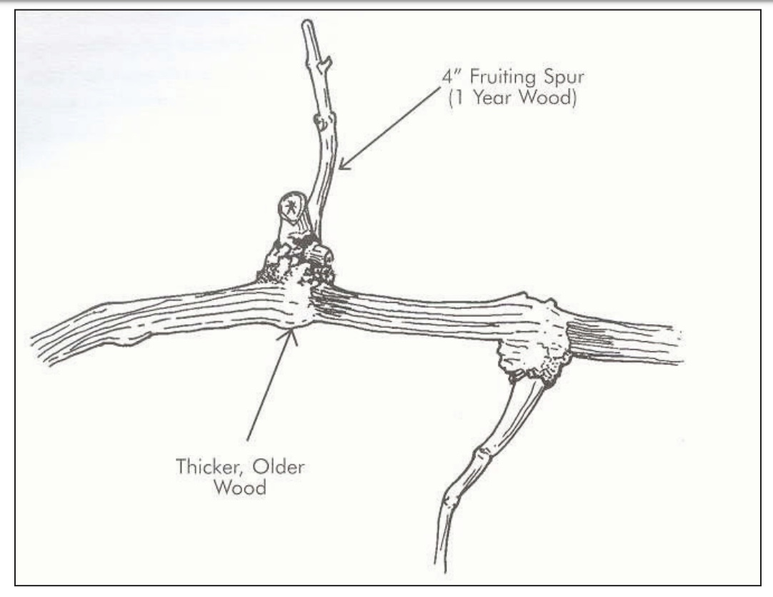 Picture of a fruiting spur