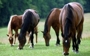 Cover photo for Horse Grazing and Pasture Management Zoom