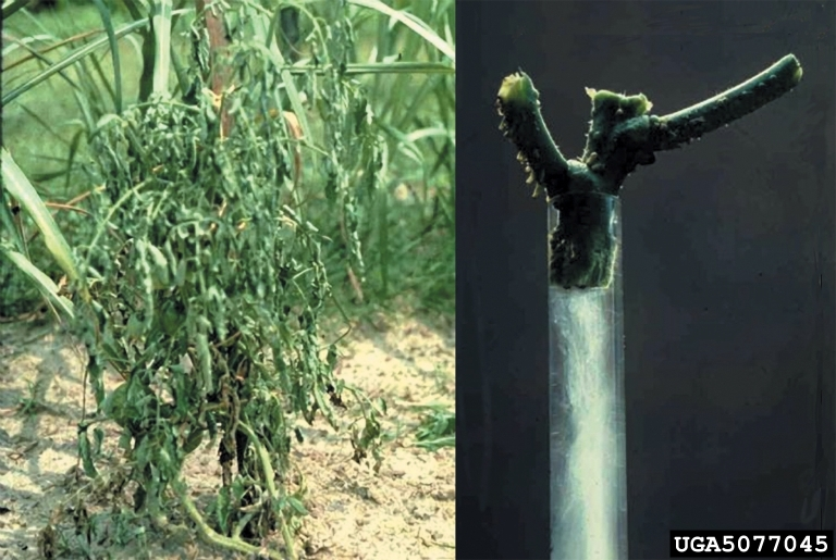 picture of a tomato plant with Southern Bacterial Wilt