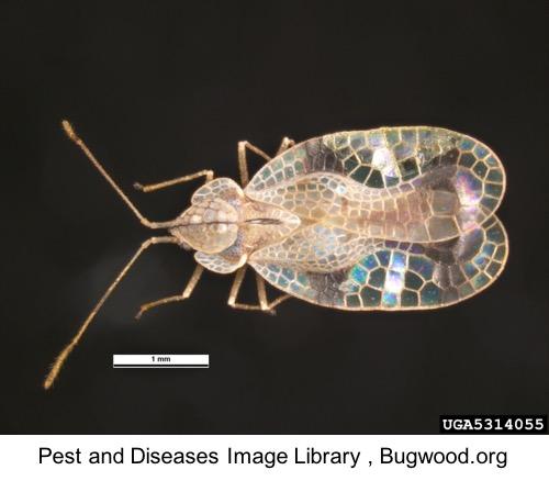 picture of azalea lace bug