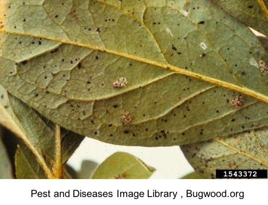 picture of a leaf with damage from a lace bug