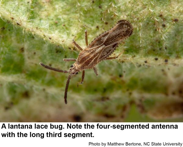 picture of a lantana lace bug