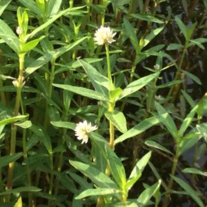 picture of alligator weed and its flowering part