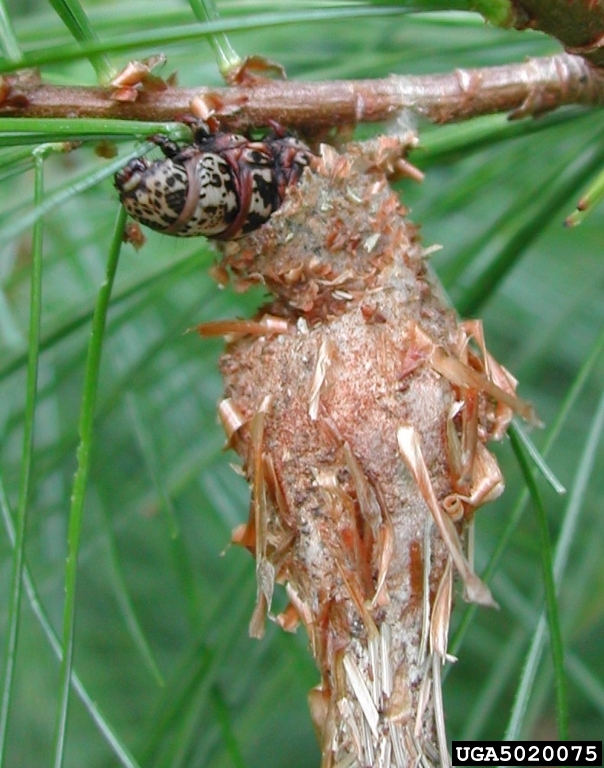 bagworm coming out of its bag