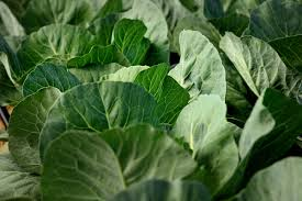 up close picture of a collard plant