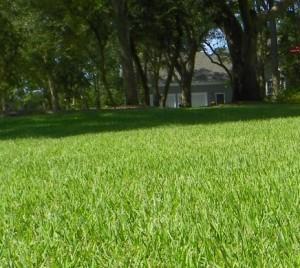 picture of Zoysia grass
