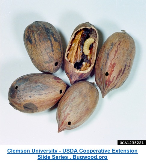 picture of several pecans with one cracked open showing a pecan weevil