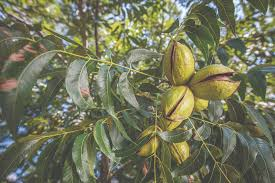 up close picture of a pecan tree with pecans that are not ready