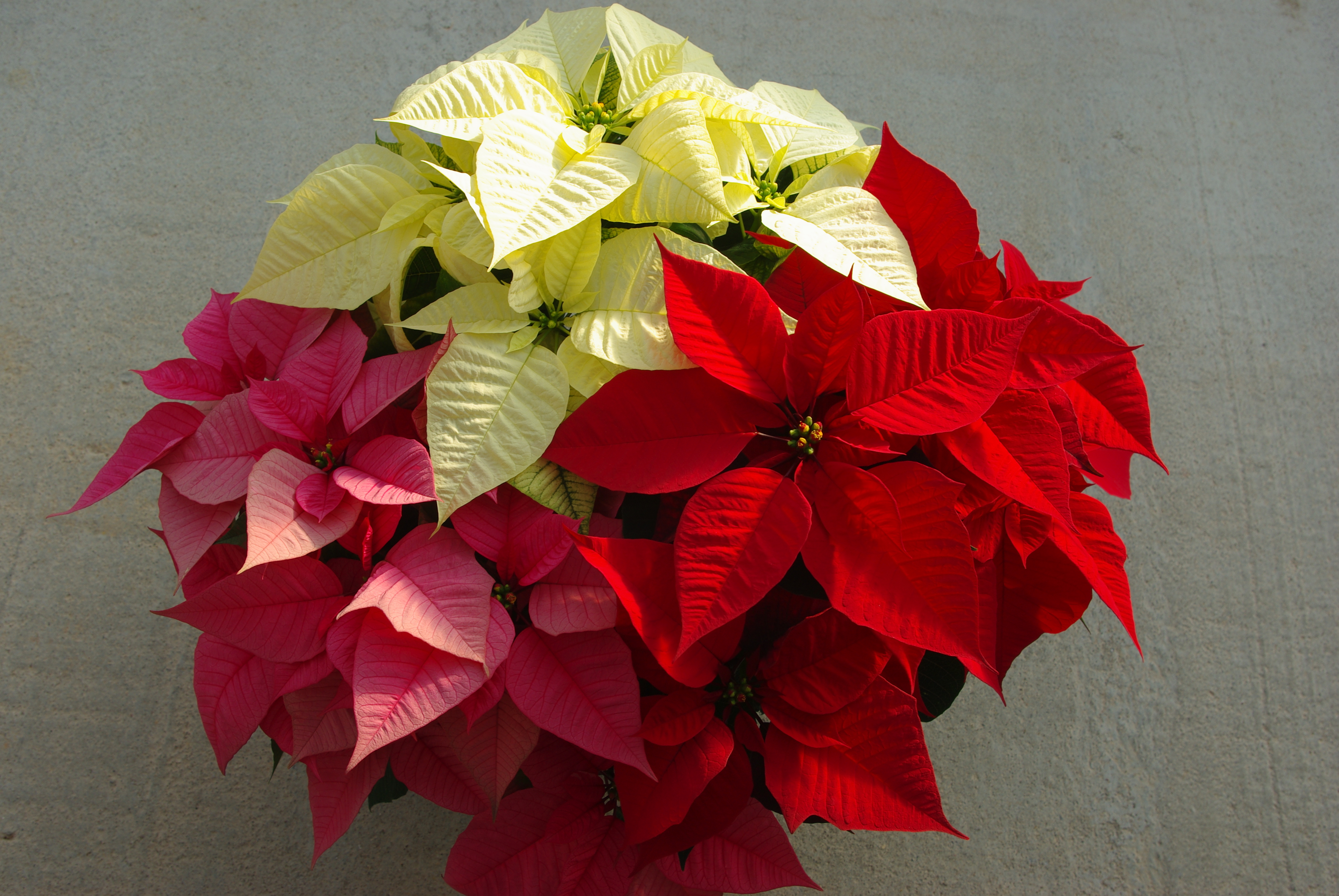Red, white, and pink poinsettia