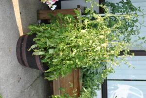 tomato plant in planter