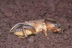 large pic of a mole cricket in dirt