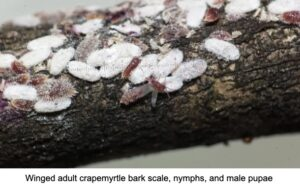 scale disease on bark