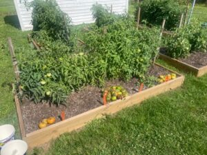 raised beds with tomato plants